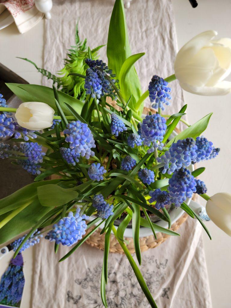 Mascari flowers, blue and whitewhite tulips, bulbs, planting, spring flowers, grape hyacinths, blue flowers, blue and white, cottage flowers