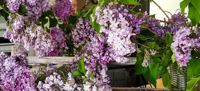 lilacs decorating with lilacs vintage tool box lilacs in decorating growing lilacs