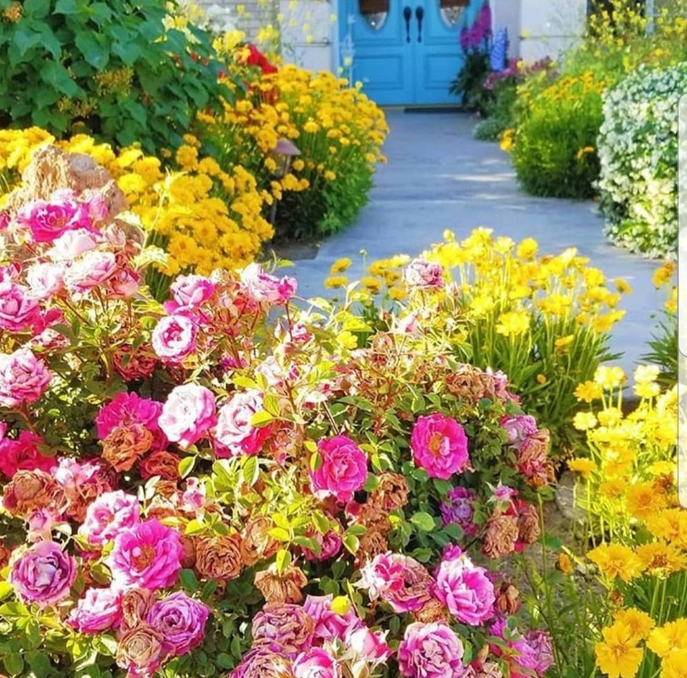 Cottage garden with yellow Columbine, pink roses